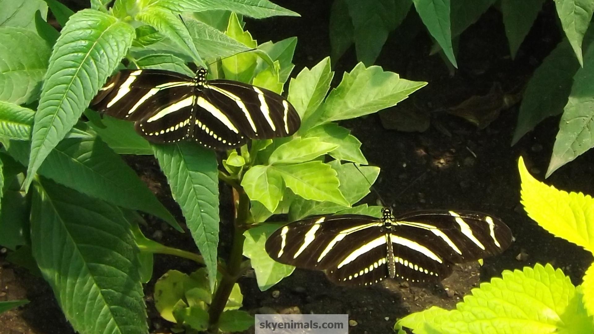 wallpaper wallpapers zebra zebra3 butterflies cat images 1920x1080