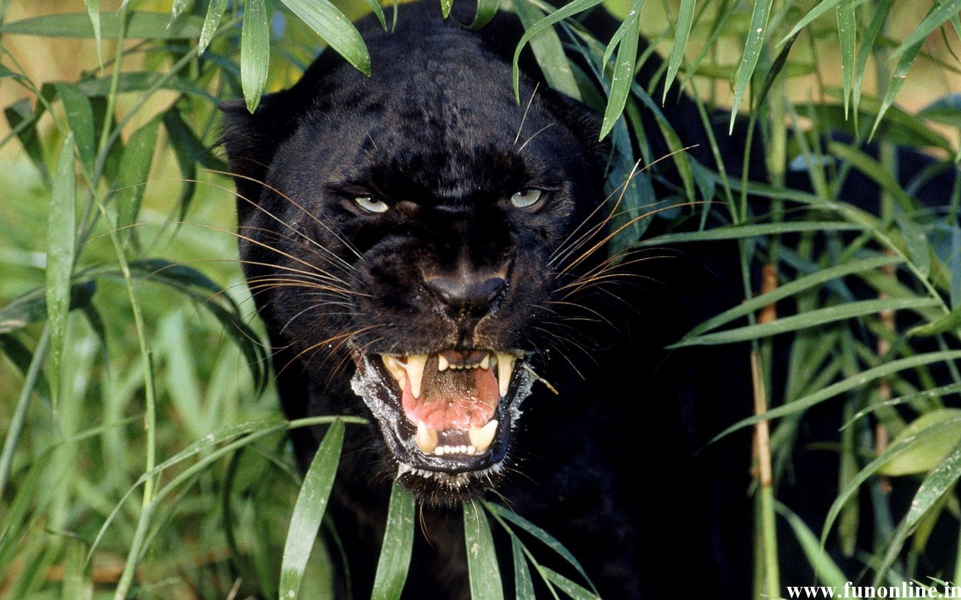Panther Wallpapers Download Black Panthers HD Wallpaper 1920x1200
