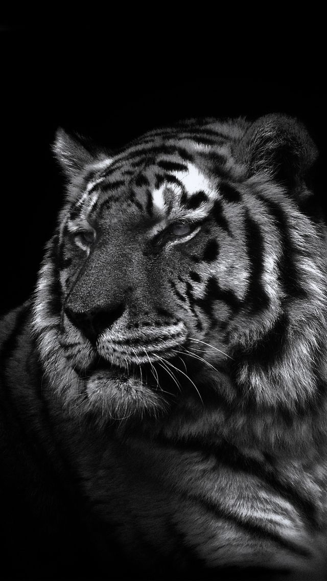 42 Tiger Iphone Wallpaper On Wallpapersafari