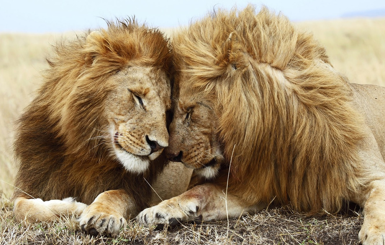 Wallpaper friendship cute Lions family partners companionship 1332x850