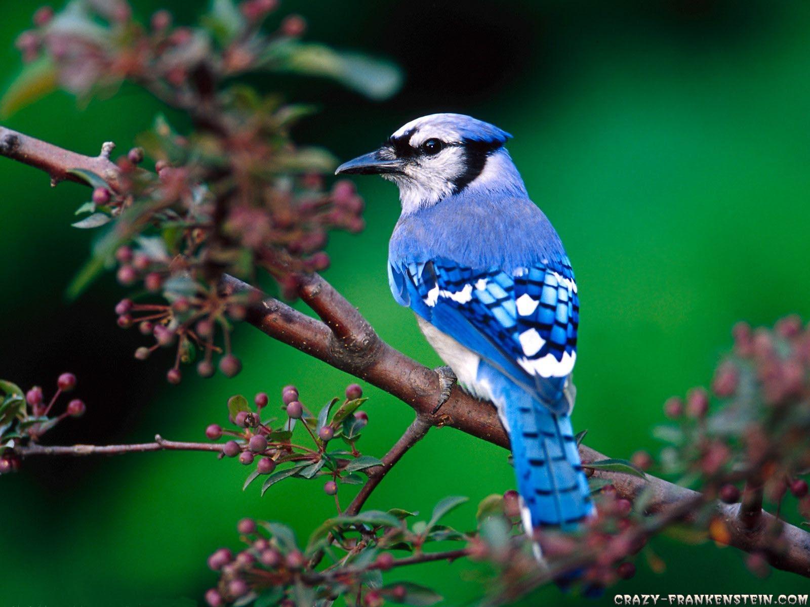 SUN SHINES Beautiful Blue Bird Wallpaper 1600x1200