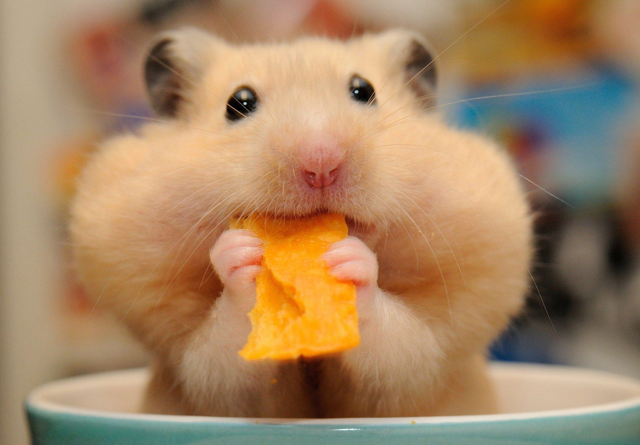 Hamster Background HD Images HD Wallpapers 2048x1425