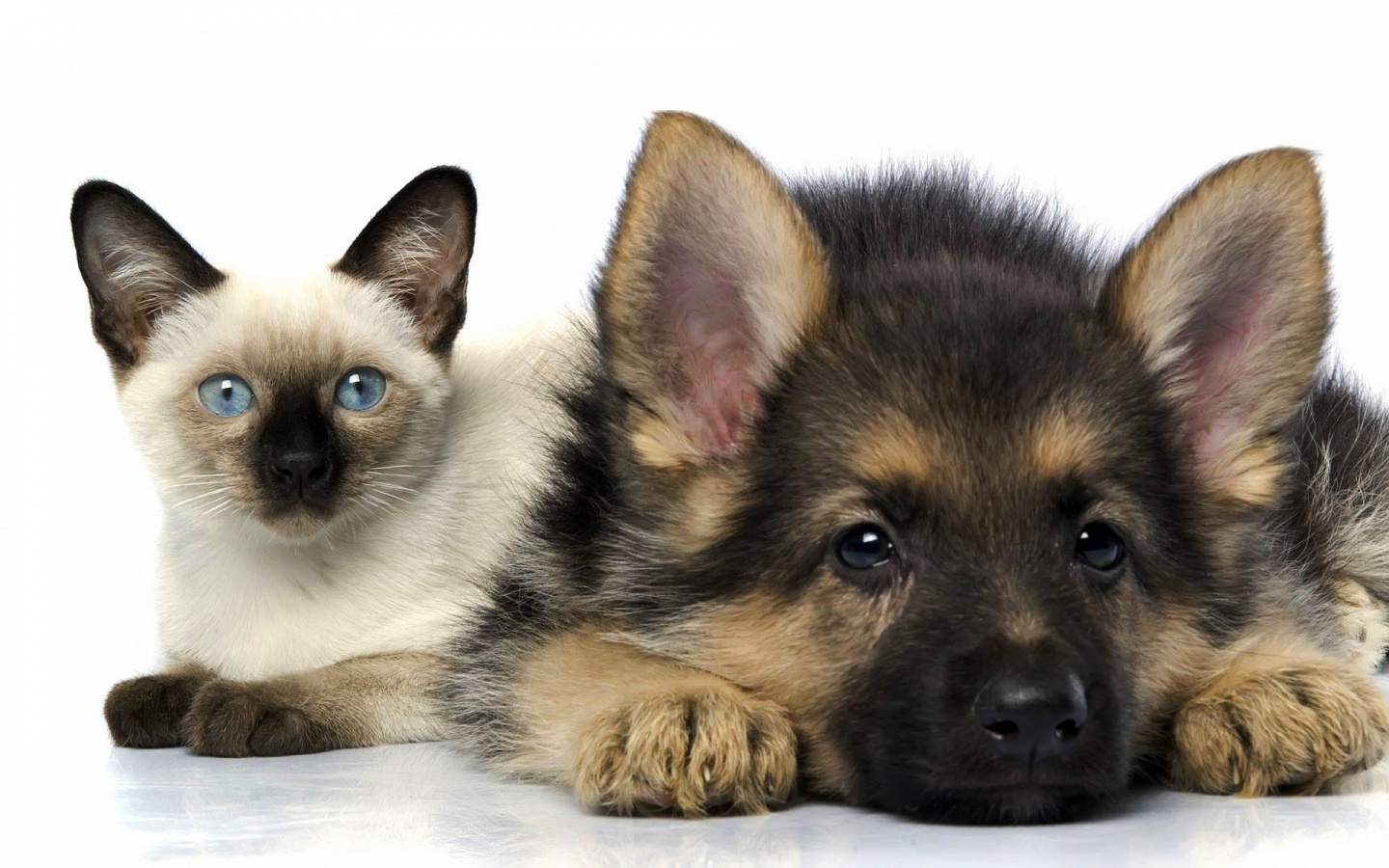 Cats and Dogs Wallpapers Fun Animals Wiki Videos Pictures Stories 1440x900