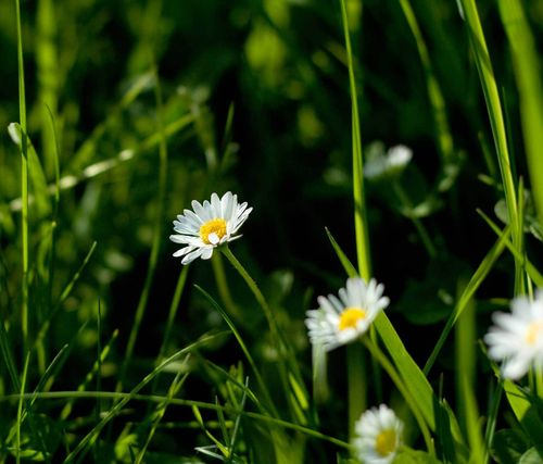 Free Dandelions in green grass wallpaper for Samsung Galaxy Tab