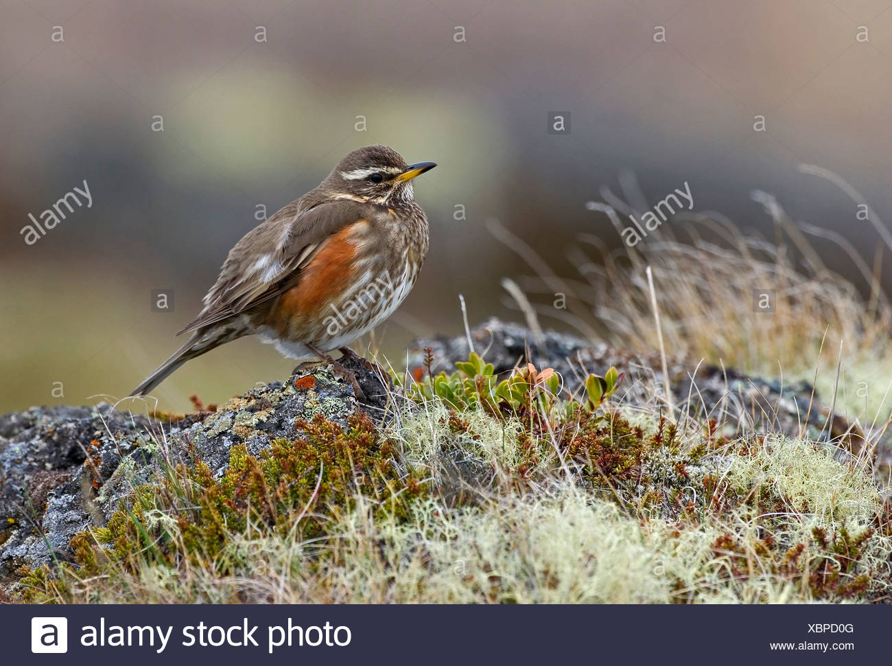Close up of Redwing bird on grassy stone against blurred 1300x970
