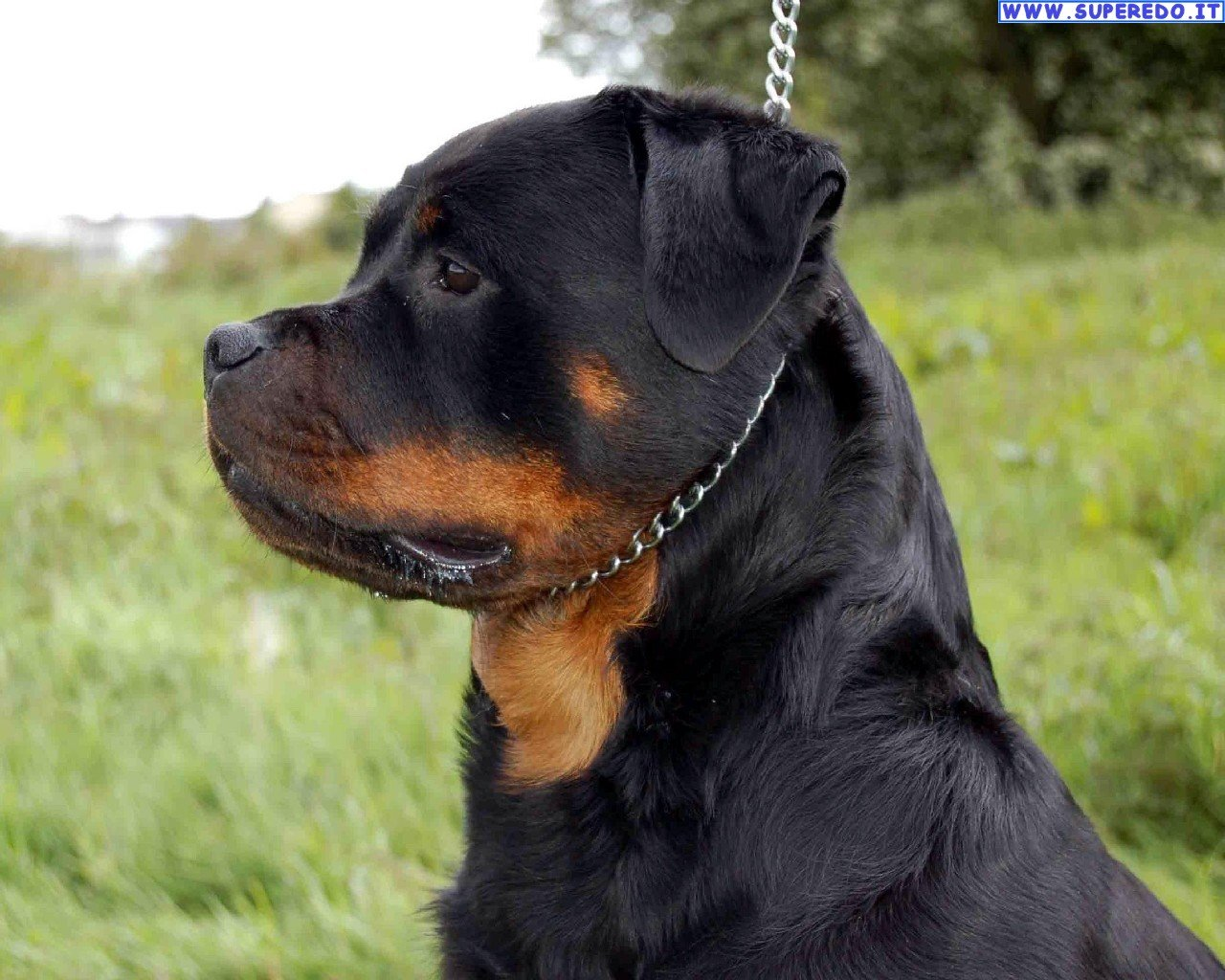 Rottweiler Puppies Wal...