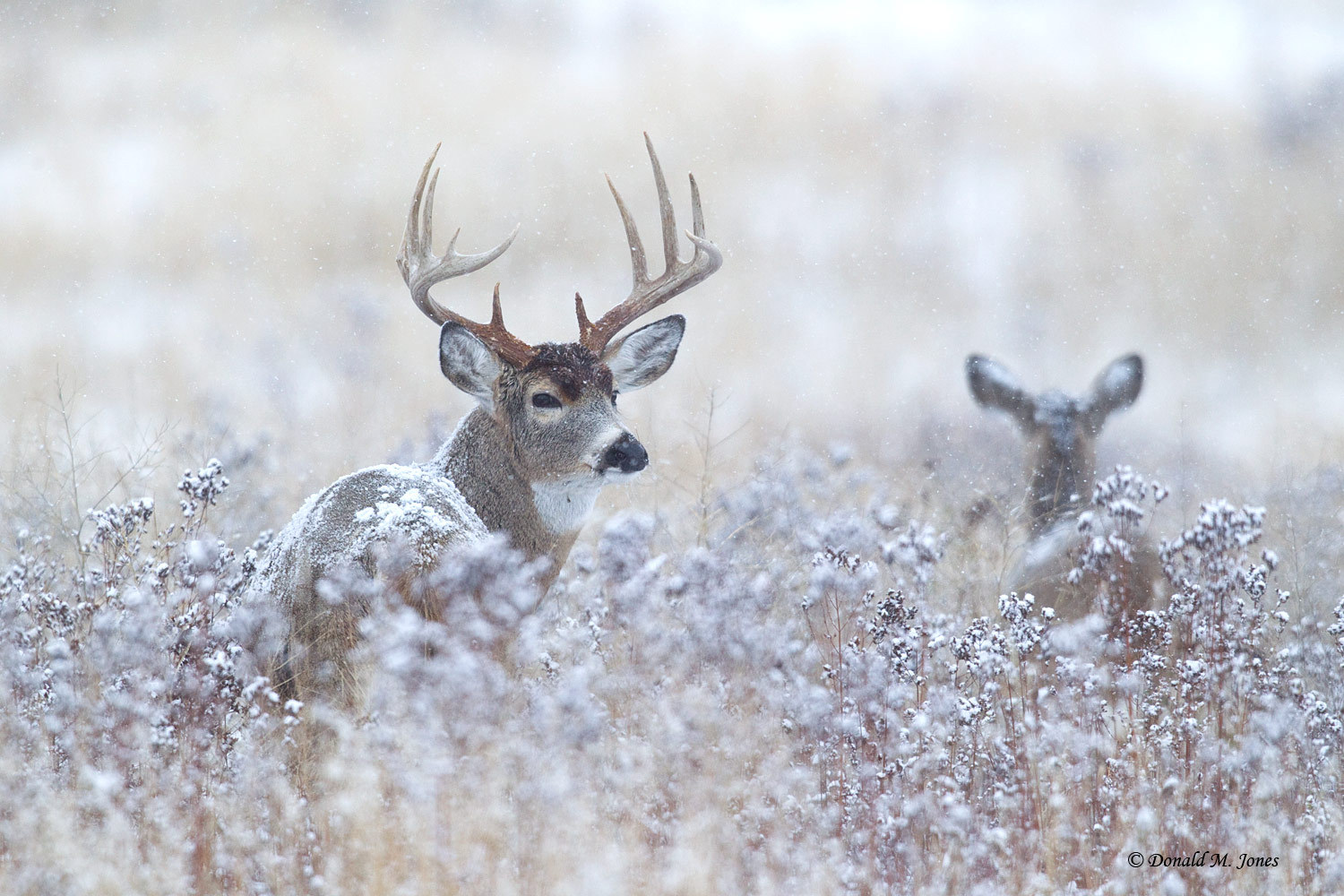 Hd Wallpapers Whitetail Deer 1600 X 1200 872 Kb Jpeg HD Wallpapers 1500x1000