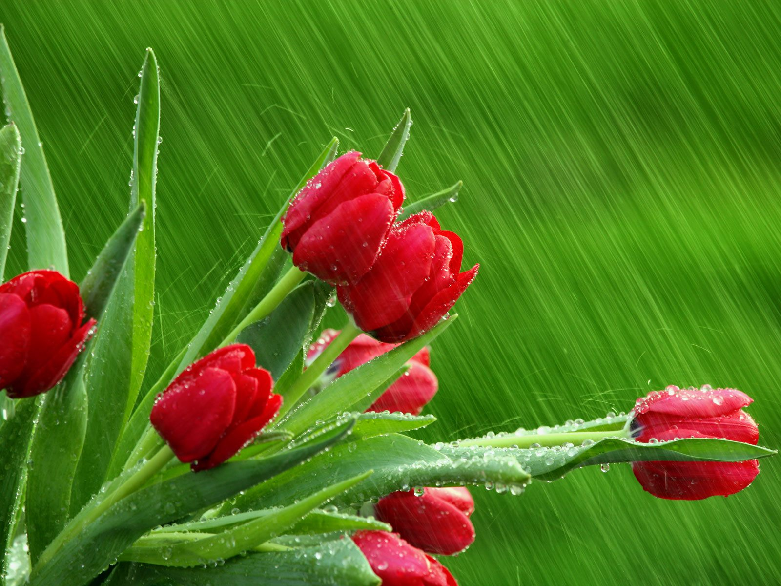 Rain on Flowers Wallpapers HD Wallpapers Pictures Images 1600x1200