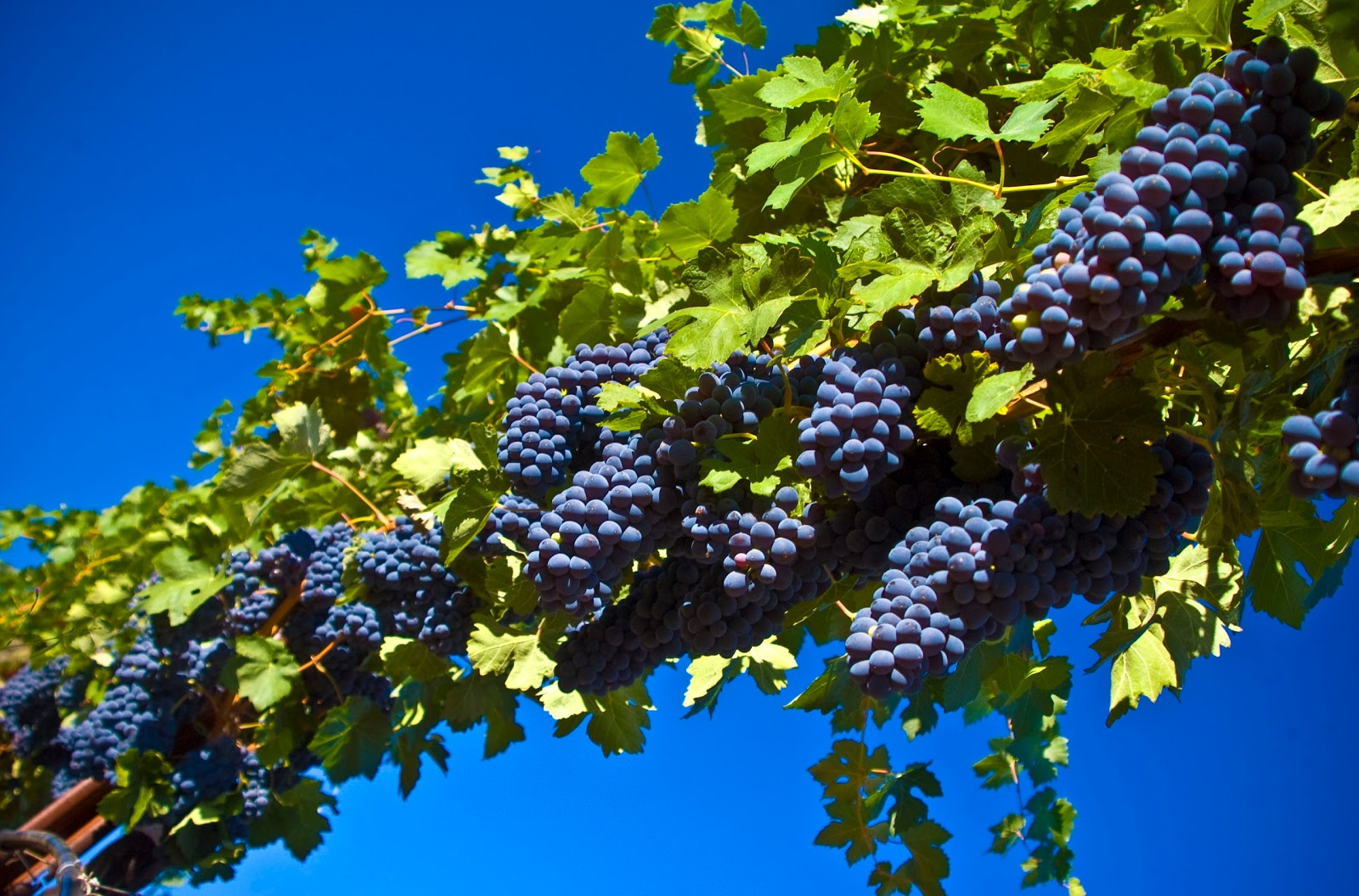 Wallpapers Box Grapes Harvest Fall HD Wallpapers 1600x1055