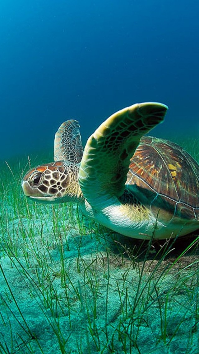 44+] Sea Turtle iPhone Wallpaper on