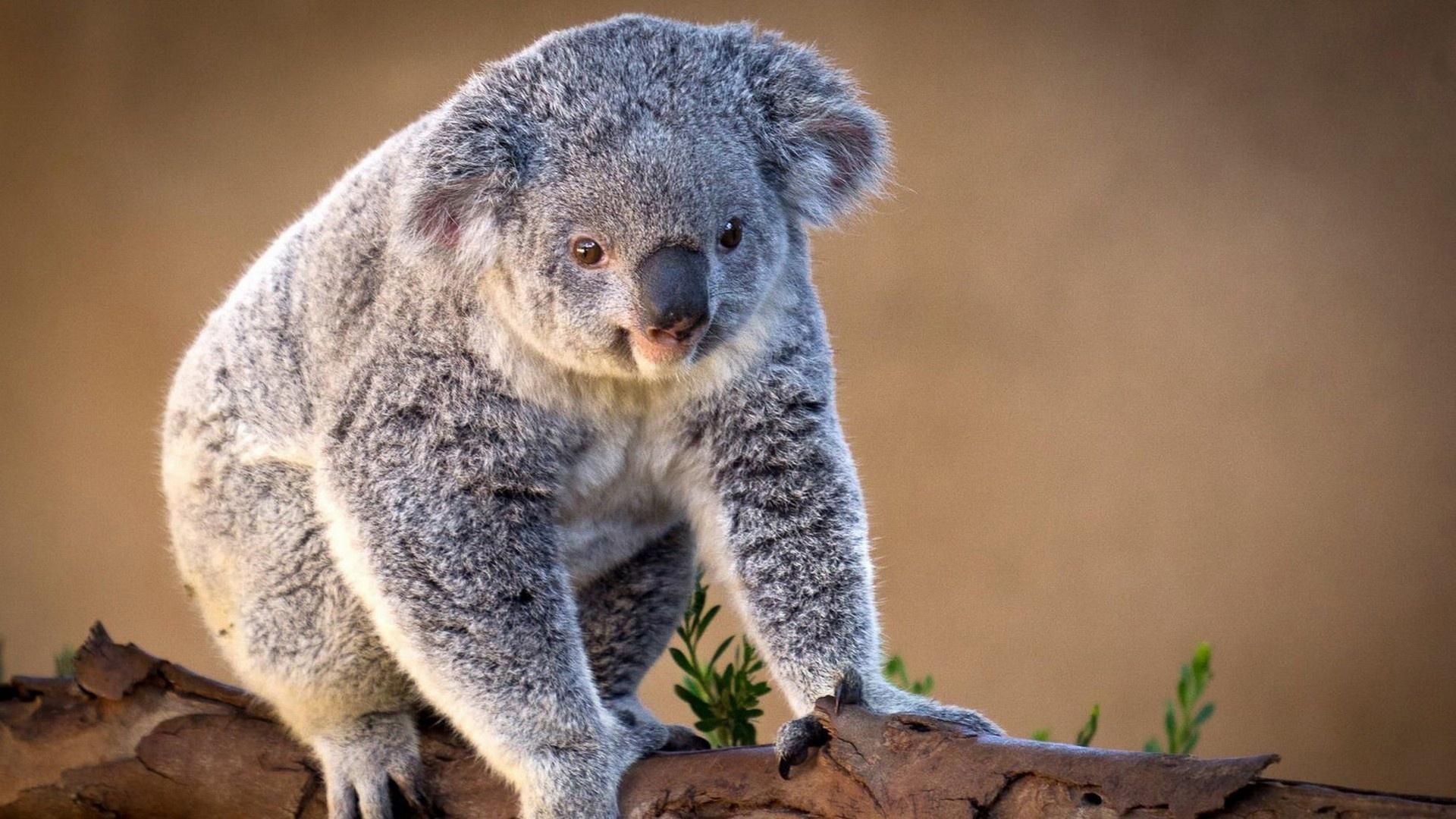 Koala Wallpaper 1920x1080px #837320