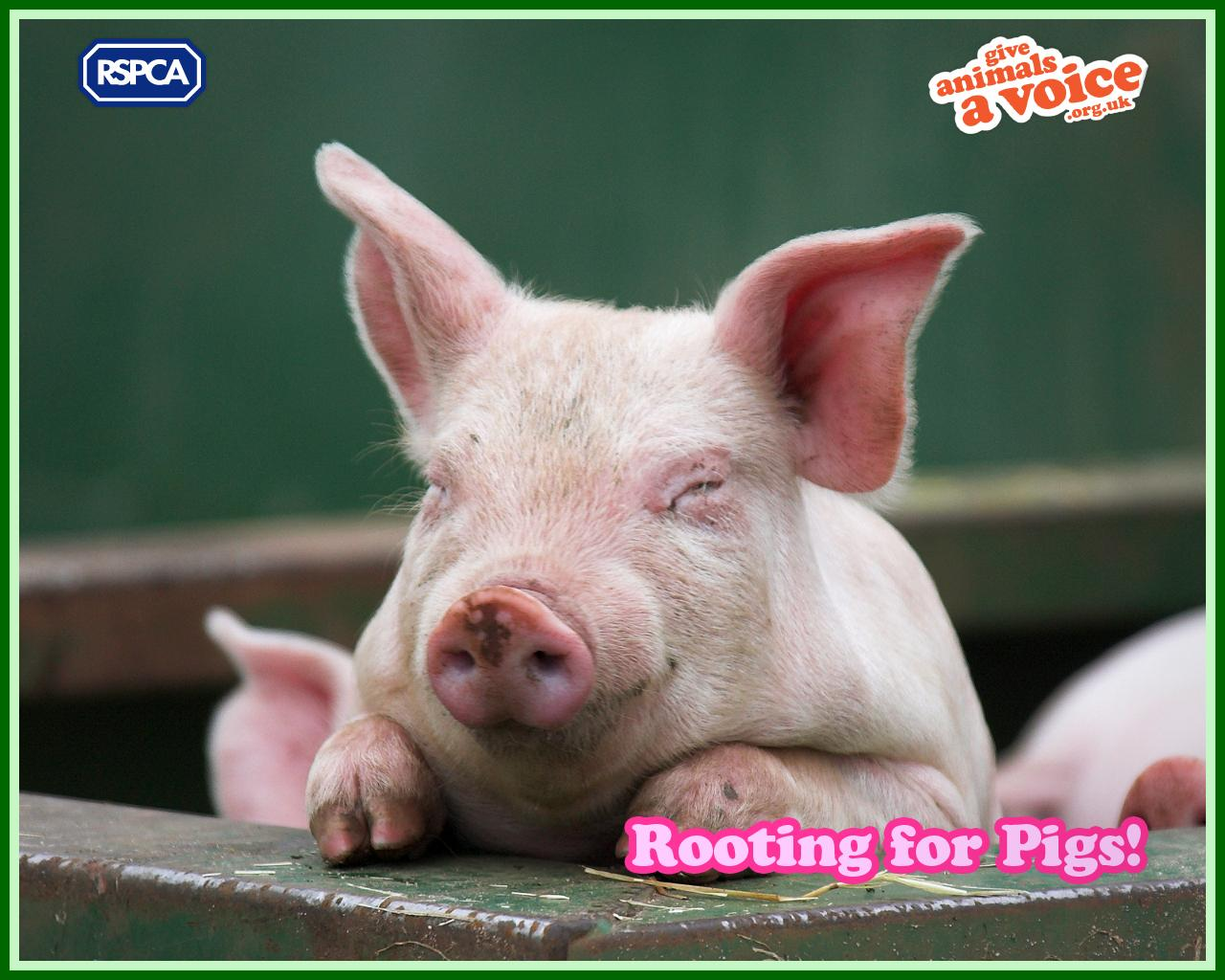 Cool Wallpapers pig background 1280x1024