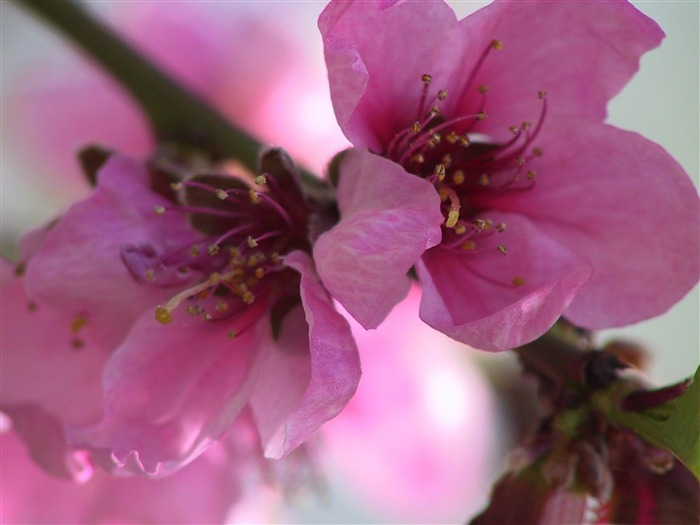 pink flowers spring theme Desktop wallpaper 700x525