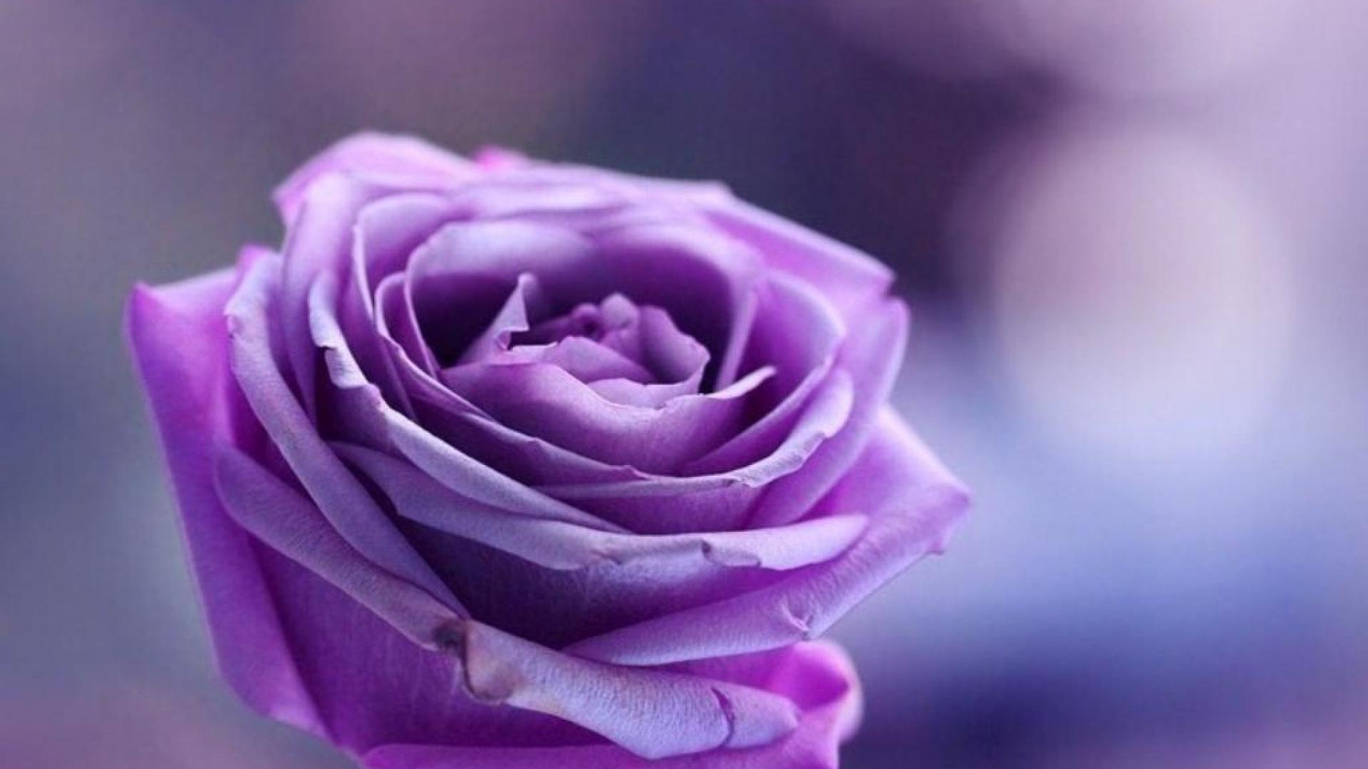 Purple Roses Background   Wallpaper High Definition High Quality 1920x1080