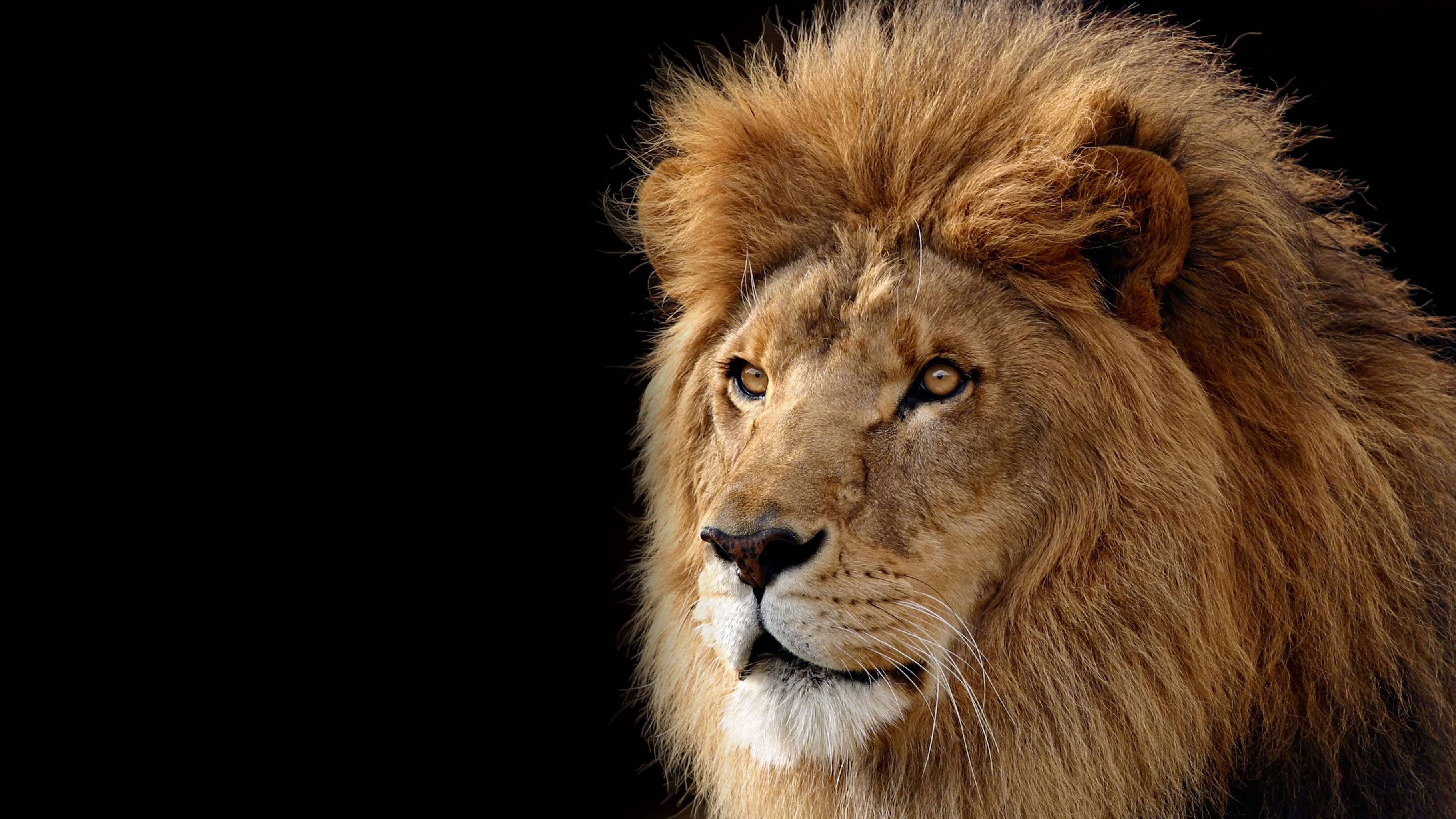 Lion Wallpapers 3641x2048