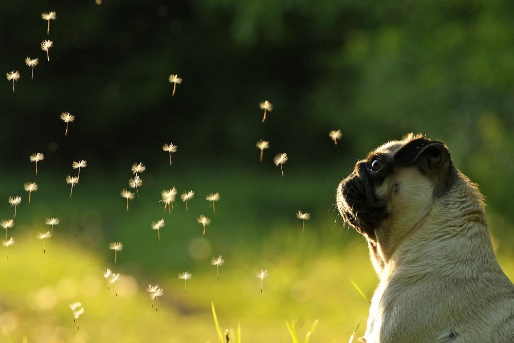 Pug Wallpaper Screensaver Background cutiepugs Pinterest 1000x667