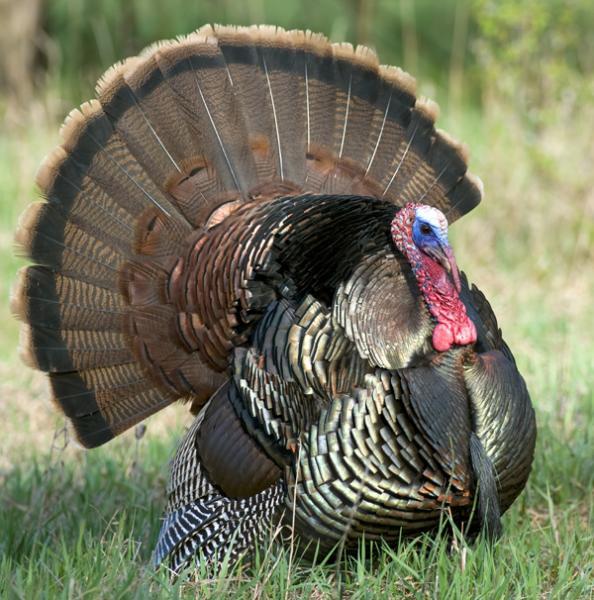 Wild Turkey Wallpaper Desktop