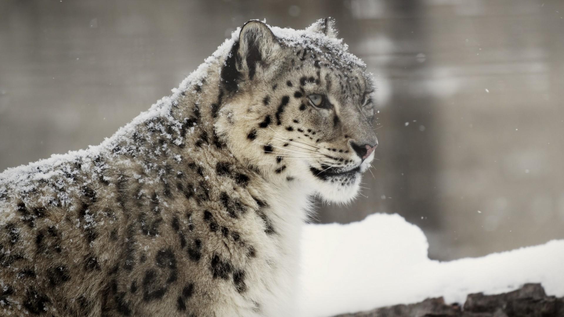 mac wallpaper snow leopard wallpapersafari