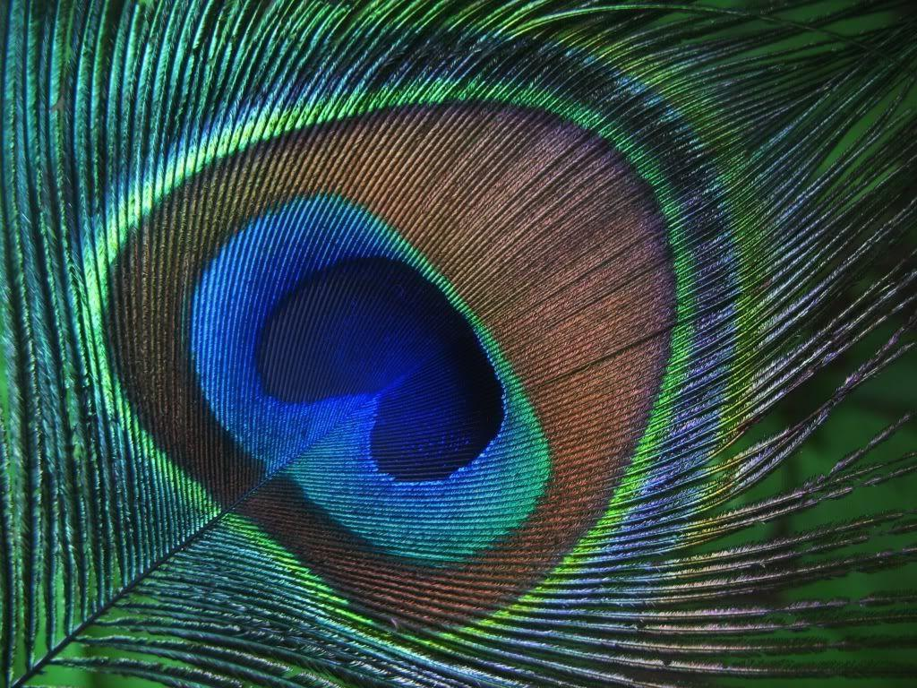 Wallpapers Of Peacock Feathers HD 2016 1024x768
