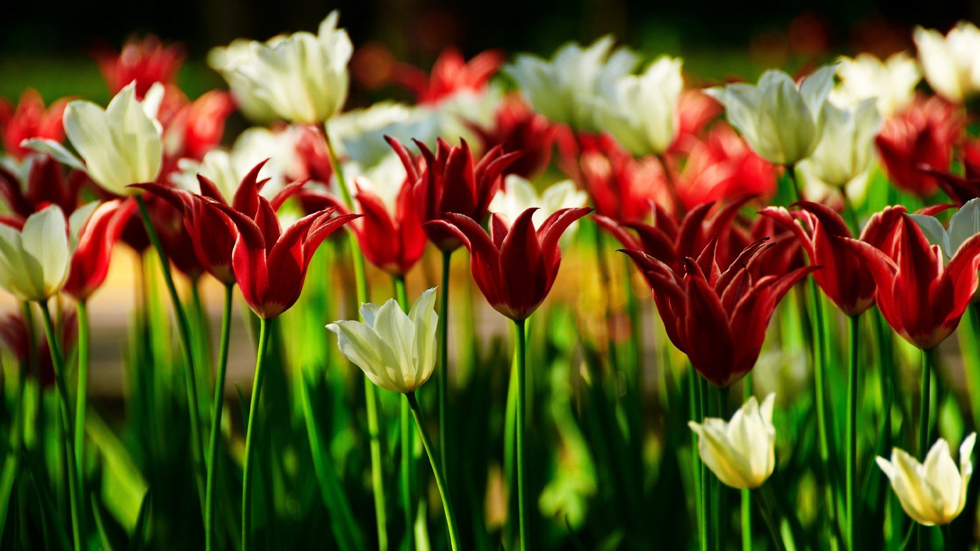 Tulips Wallpapers