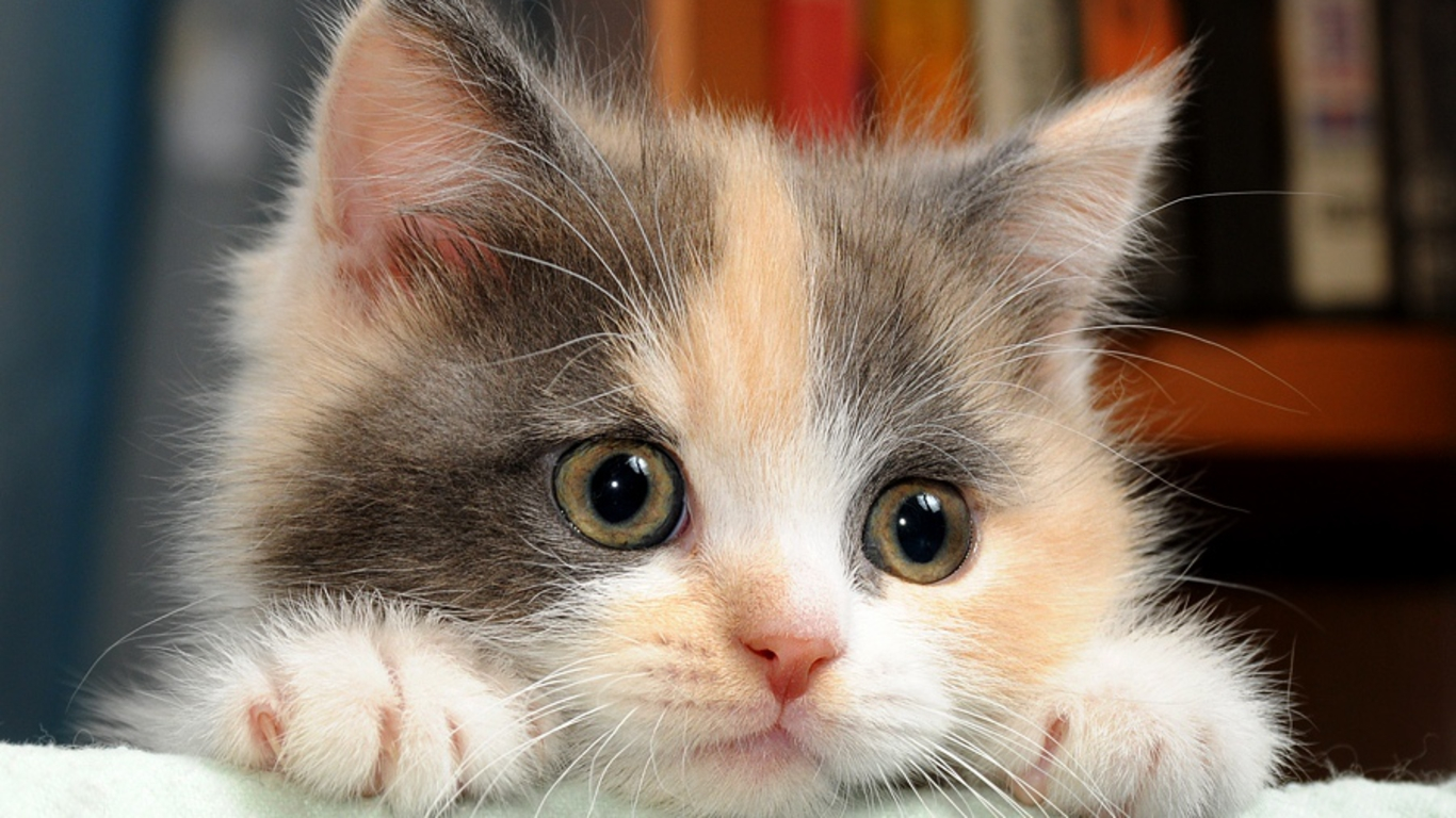 Cute Cats Wallpaper Funny 10560 Wallpaper Cool Walldiskpapercom 1366x768