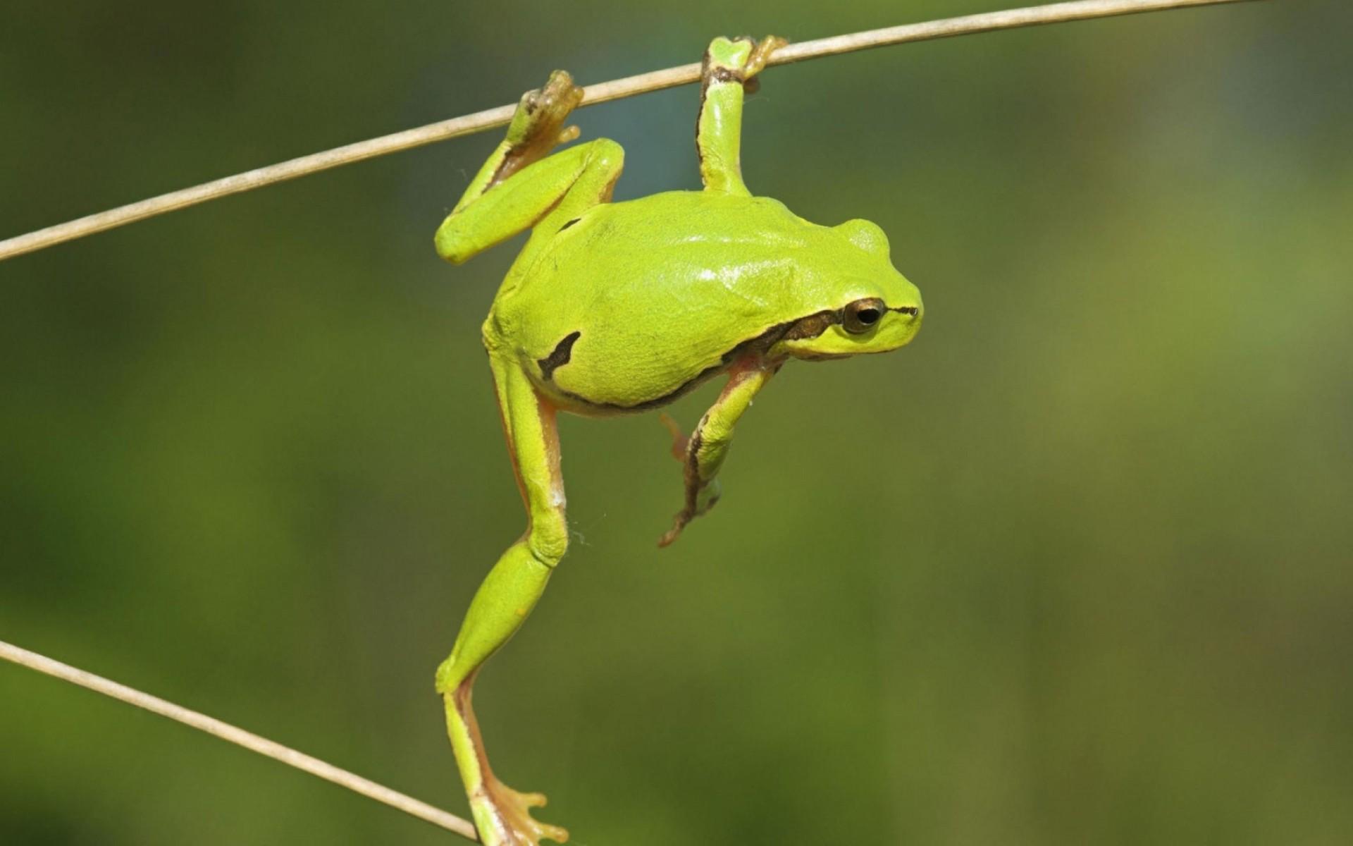 Frog Long Leg Wallpaper HD 1920x1200 1286 1920x1200