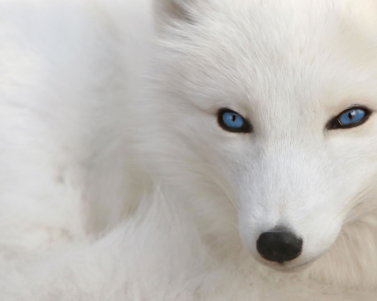 White Wolf Desktop Wallpaper 3184 Wallpaper Wallpaper hd 1280x1024