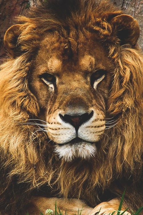 lion nature phone wallpaper 500x750