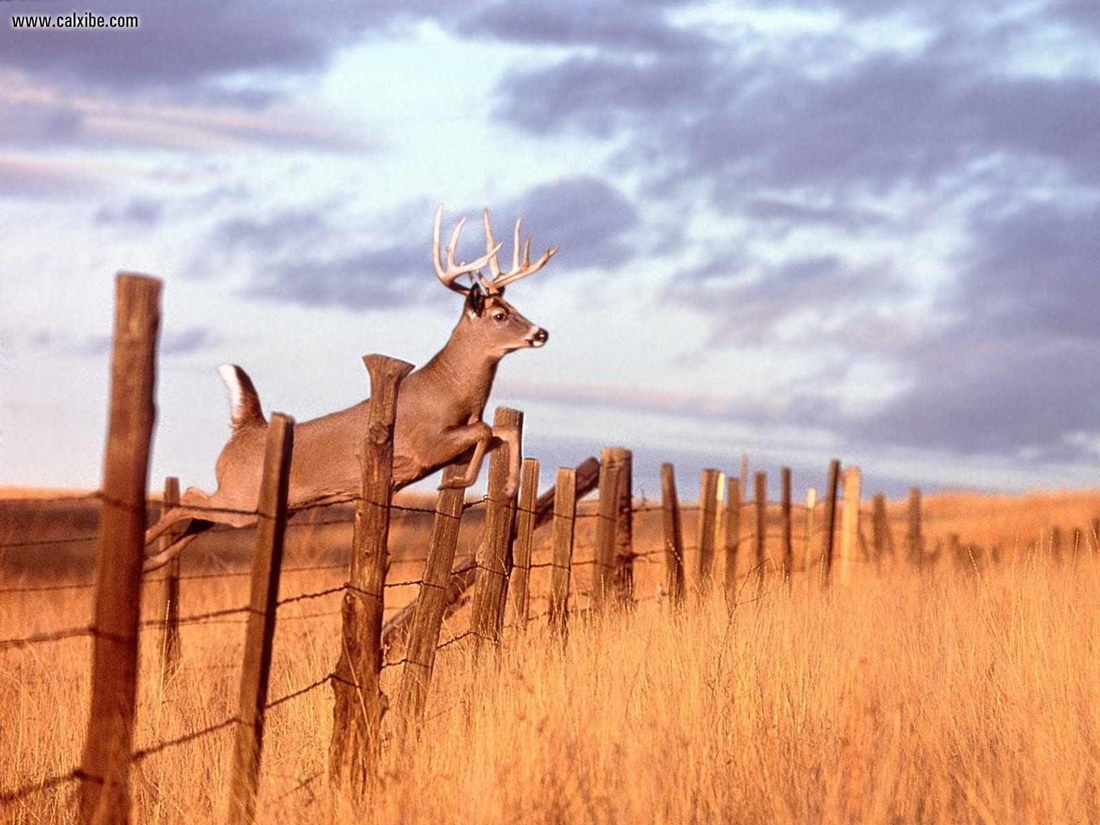 Pics Photos   Download Beautiful Whitetail Buck Wallpaper 1600x1200
