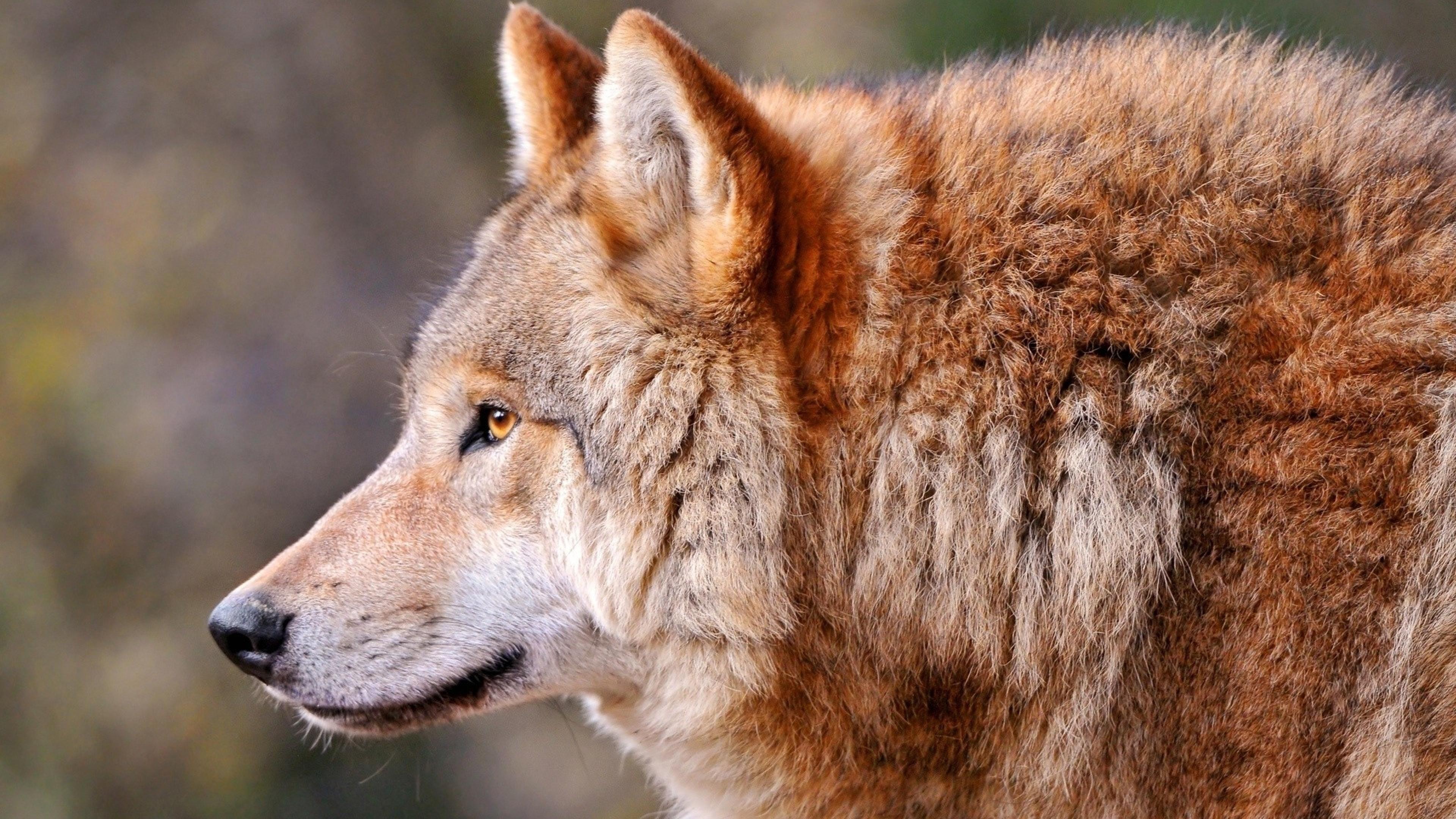 Wolf Profile Animal Predator Dog Wallpaper Background 4K Ultra HD 3840x2160