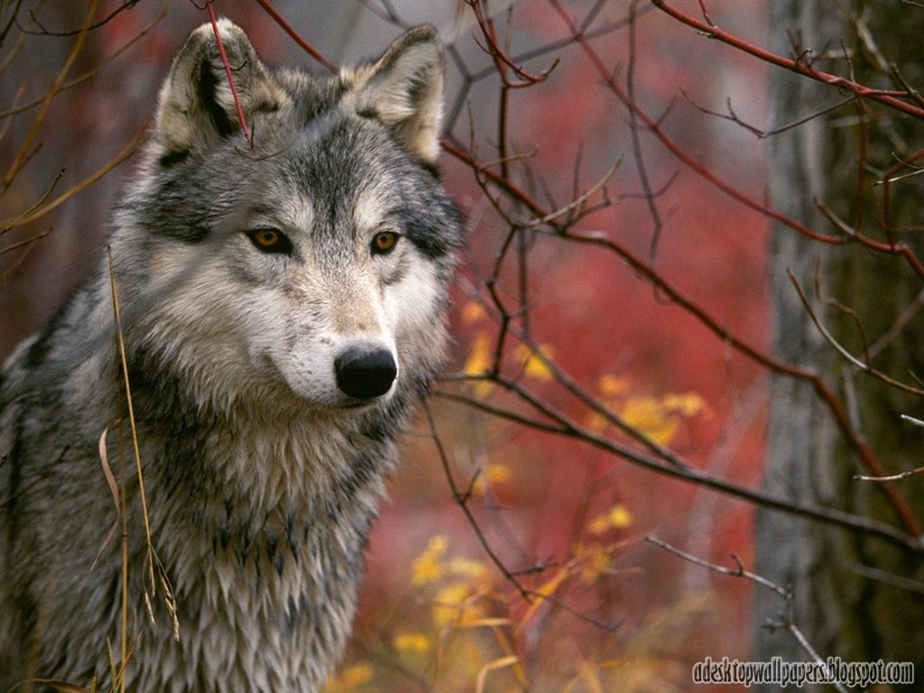 Wolf Animal Desktop Wallpapers 1024x768