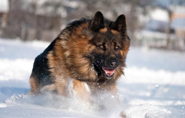 Wallpaper dog german shepherd winter snow wallpapers dog   download 596x380