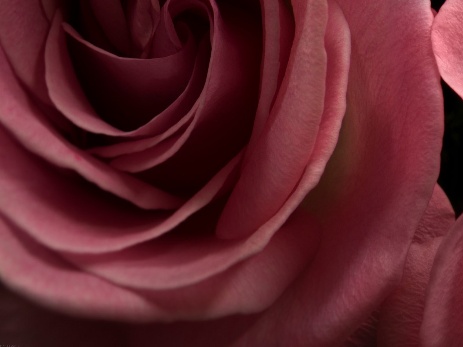 Black and White Wallpapers Burgundy Rose Wallpaper 1600x1200