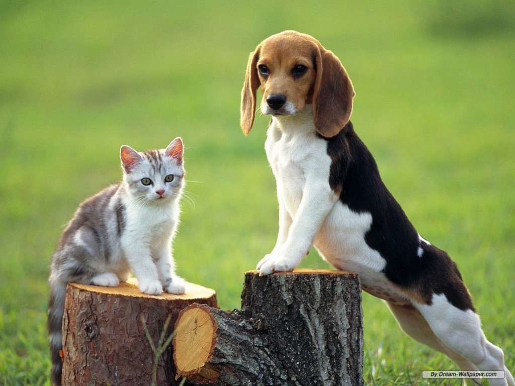 Beagle Puppy Wallpaper