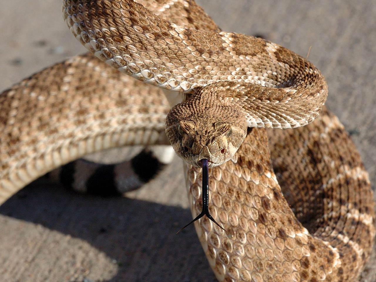 Rattlesnake wallpaper 1280x960 3799 1280x960