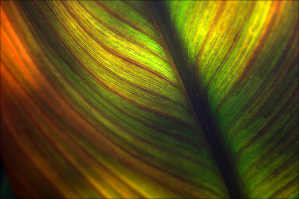 Pin Banana Leaf By Daniel Sommerlad Desktop Wallpaper 600x400