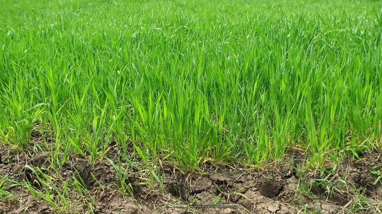 Green wheat wallpaper 1280x720 resolution 1280x720
