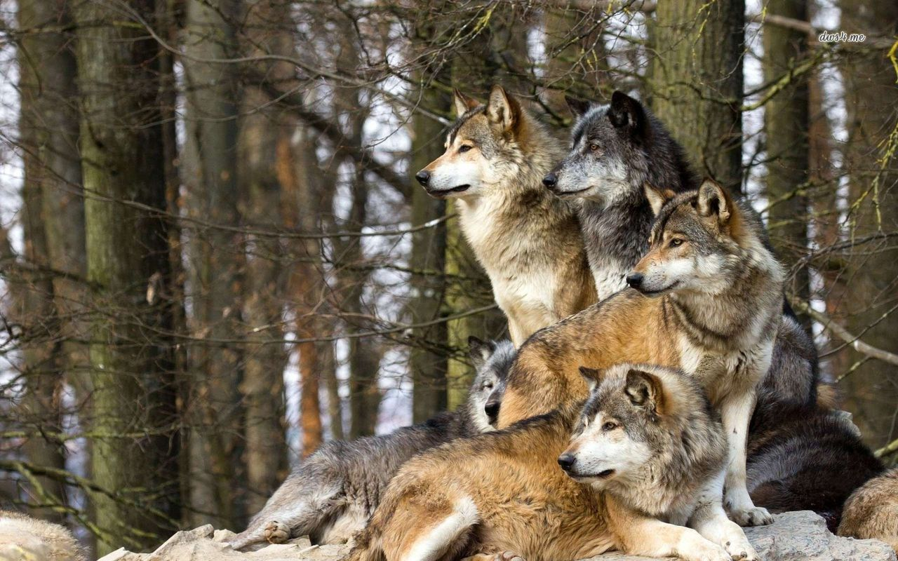24659 wolf pack 1280800 animal wallpaper 1280x800