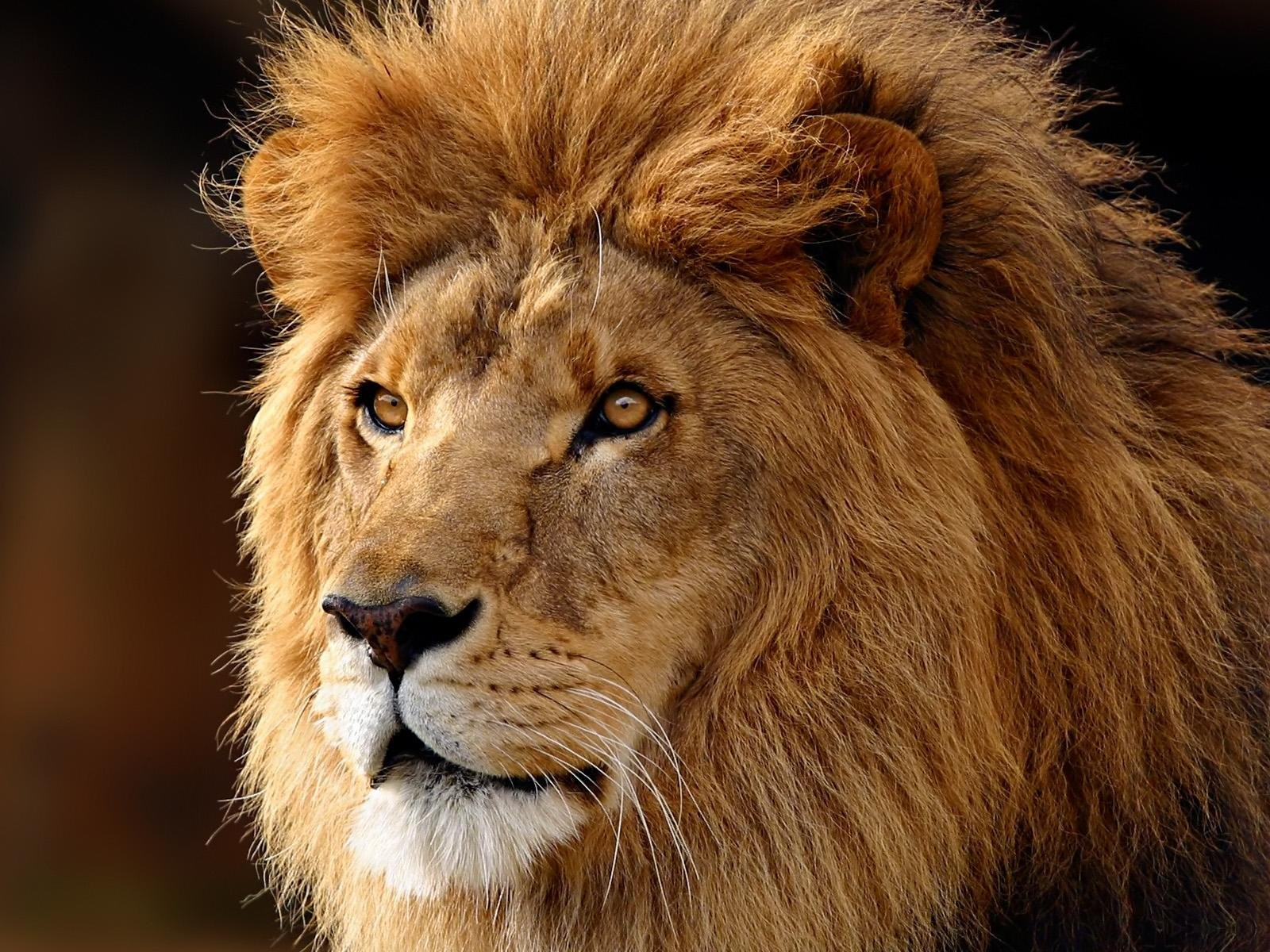 Wallpaper lion Huge fluffy lion 1600x1200