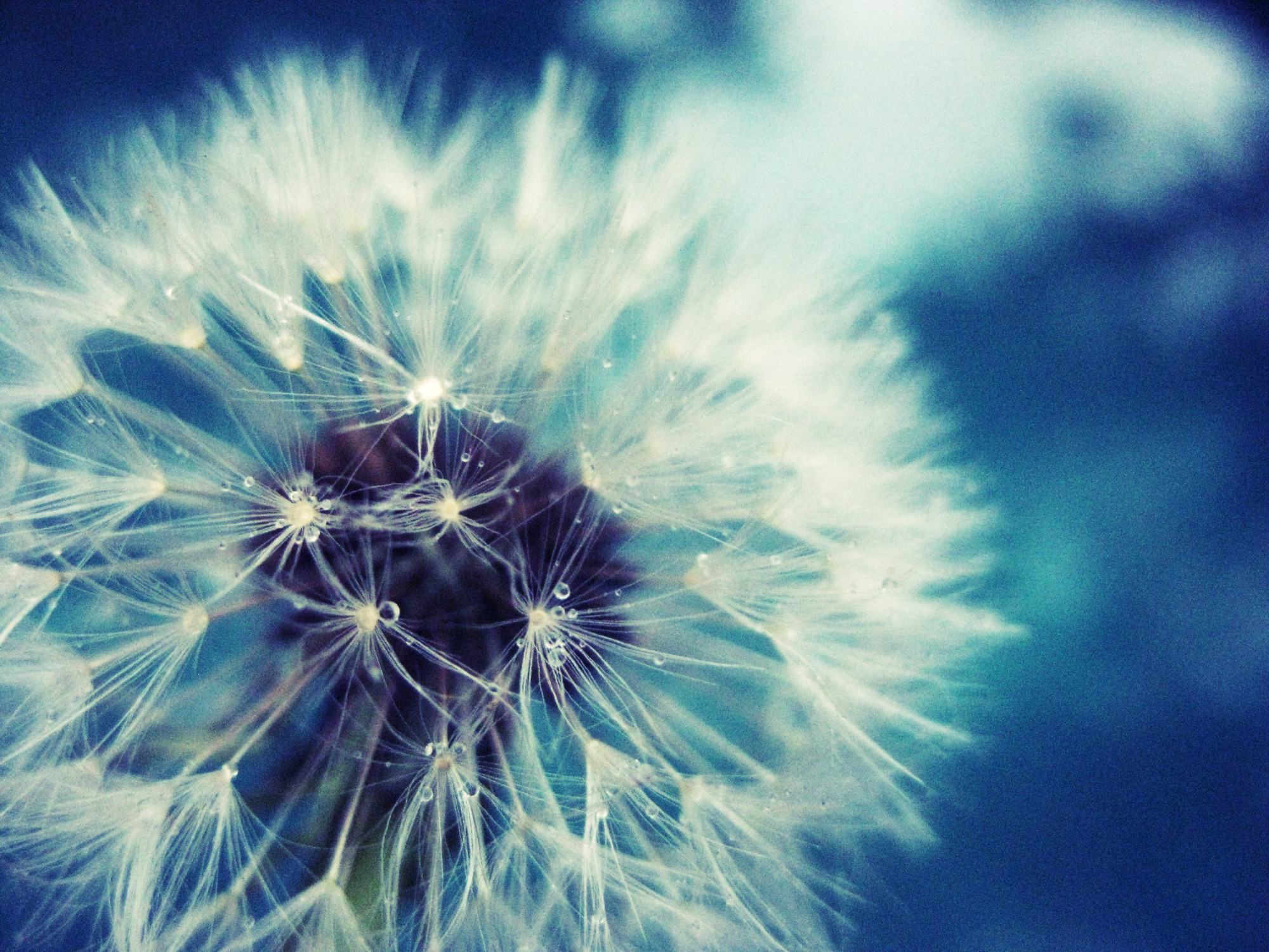Pics Photos   Dandelion Flower Background Widescreen 2000x1500