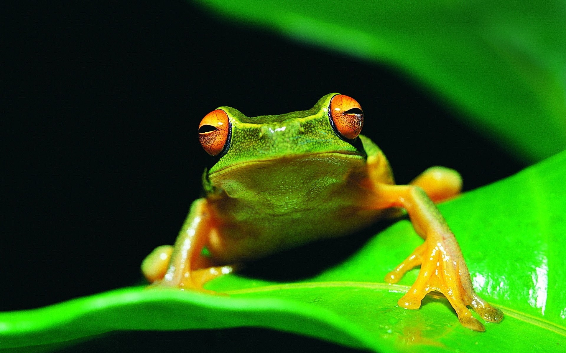 Animal Photos Amphibians Frog Apple Wallpaper HD Mobile 1920x1200