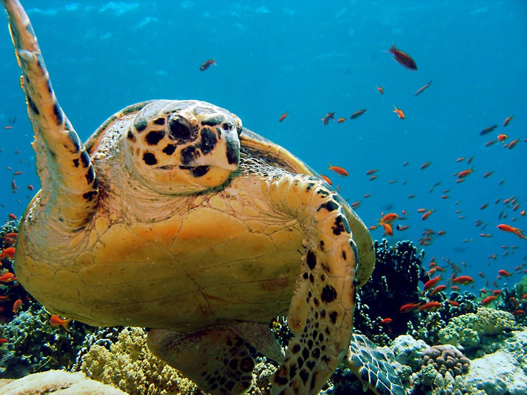Ocean animals turtles wallpaper 3593 1024x768