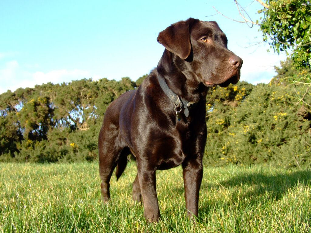Chocolate Lab Wallpaper 767326 1024x768px by Colin Fichtner 1024x768