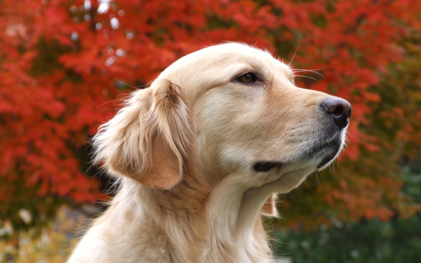 Download All Wallpapers Beautiful Dog Hd Wallpapers [1440x900 1440x900