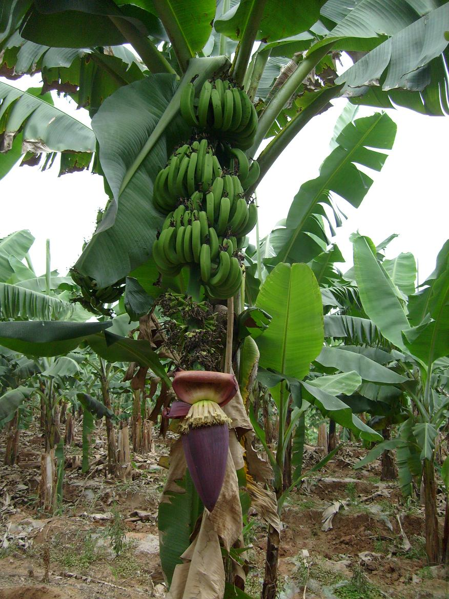 Posted in Tree Tags banana banana trees 876x1168