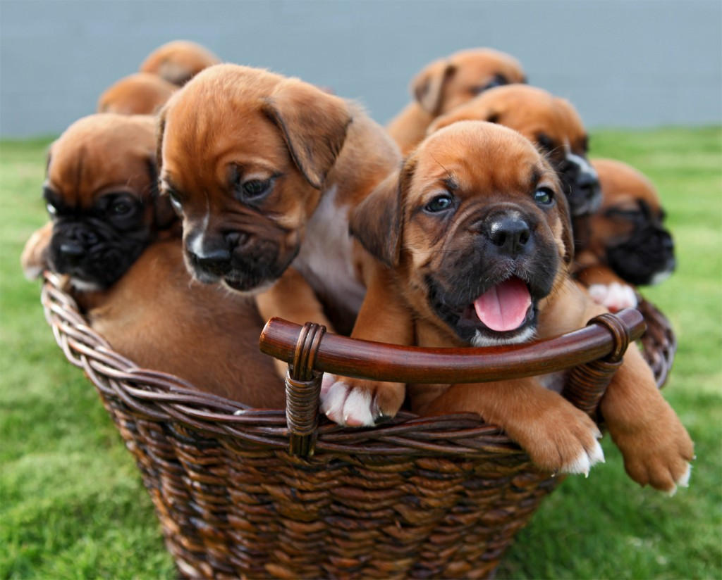 Boxer Puppies Are The Cutest   Styli Wallpapers 1024x824