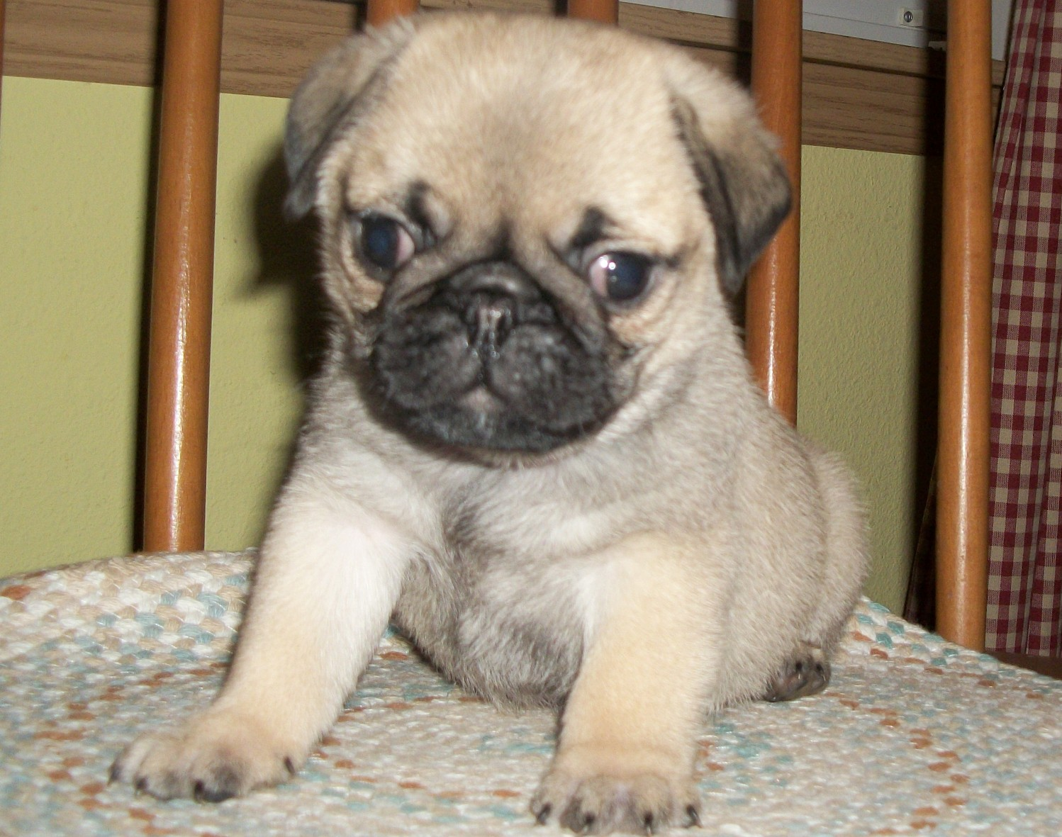 Baby Pugs For Sale 33 Background Wallpaper   DogBreedsWallpaperscom 1498x1181