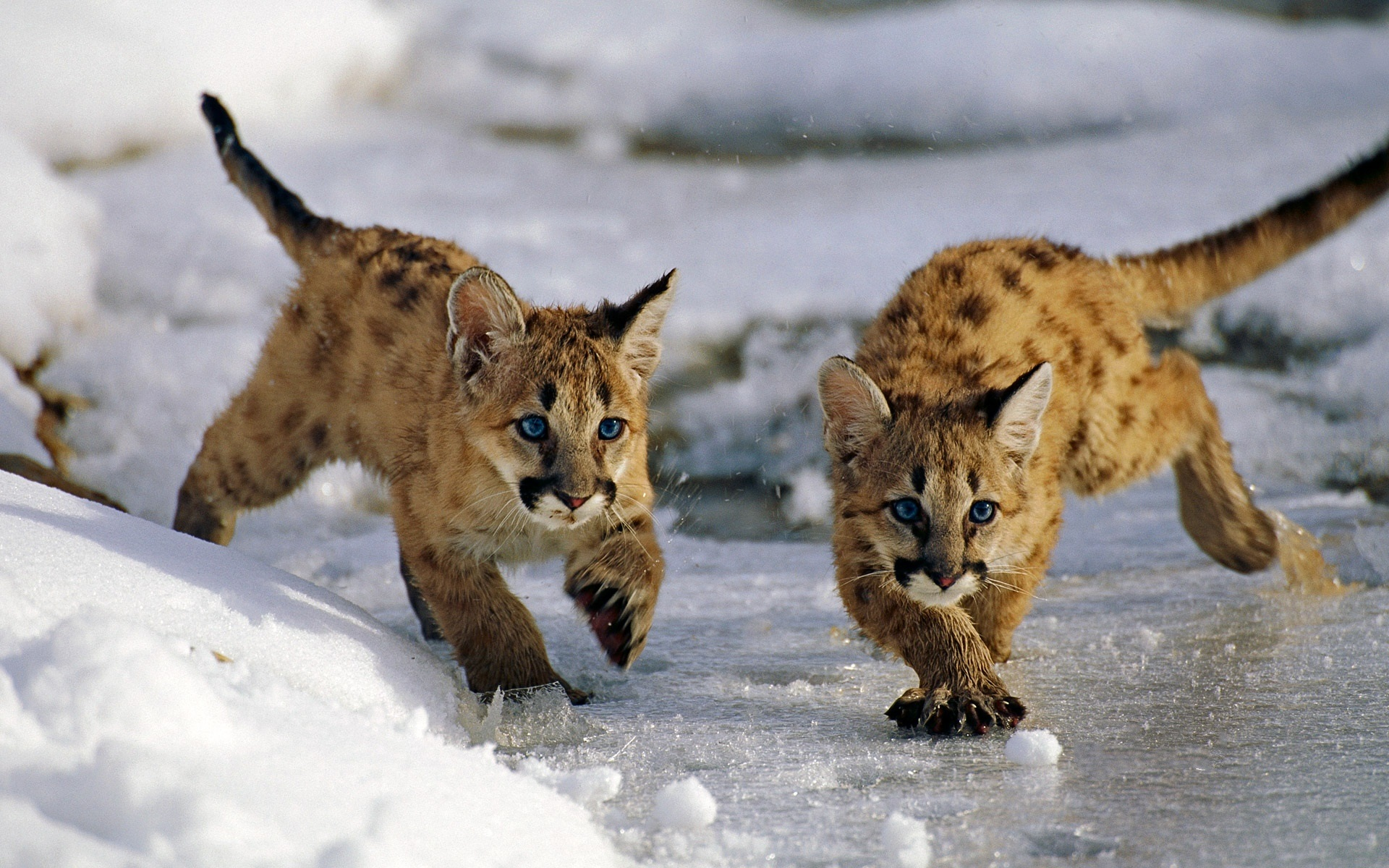 Uinta National Forest Utah USA mountain lion cubs winter snow 1920x1200