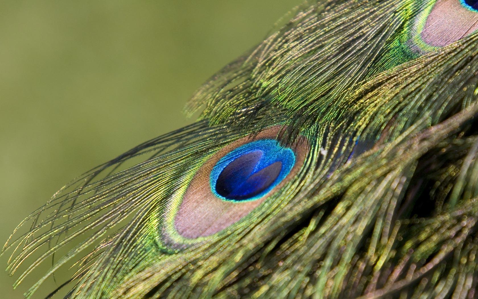 Desktop Wallpaper of a Peacock Feathers 1680x1050