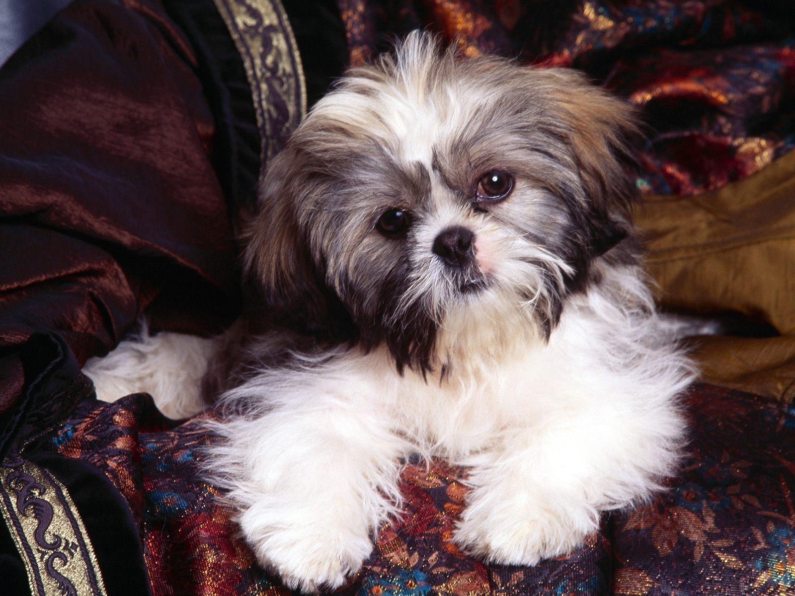 Shih Tzu Puppies Wallpaper Wallpapersafari